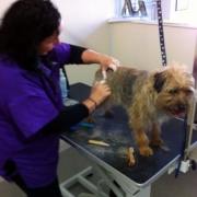Student at work grooming terrier