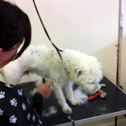 Student with dog during grooming